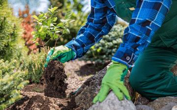 Gardener planting new tree in a garden